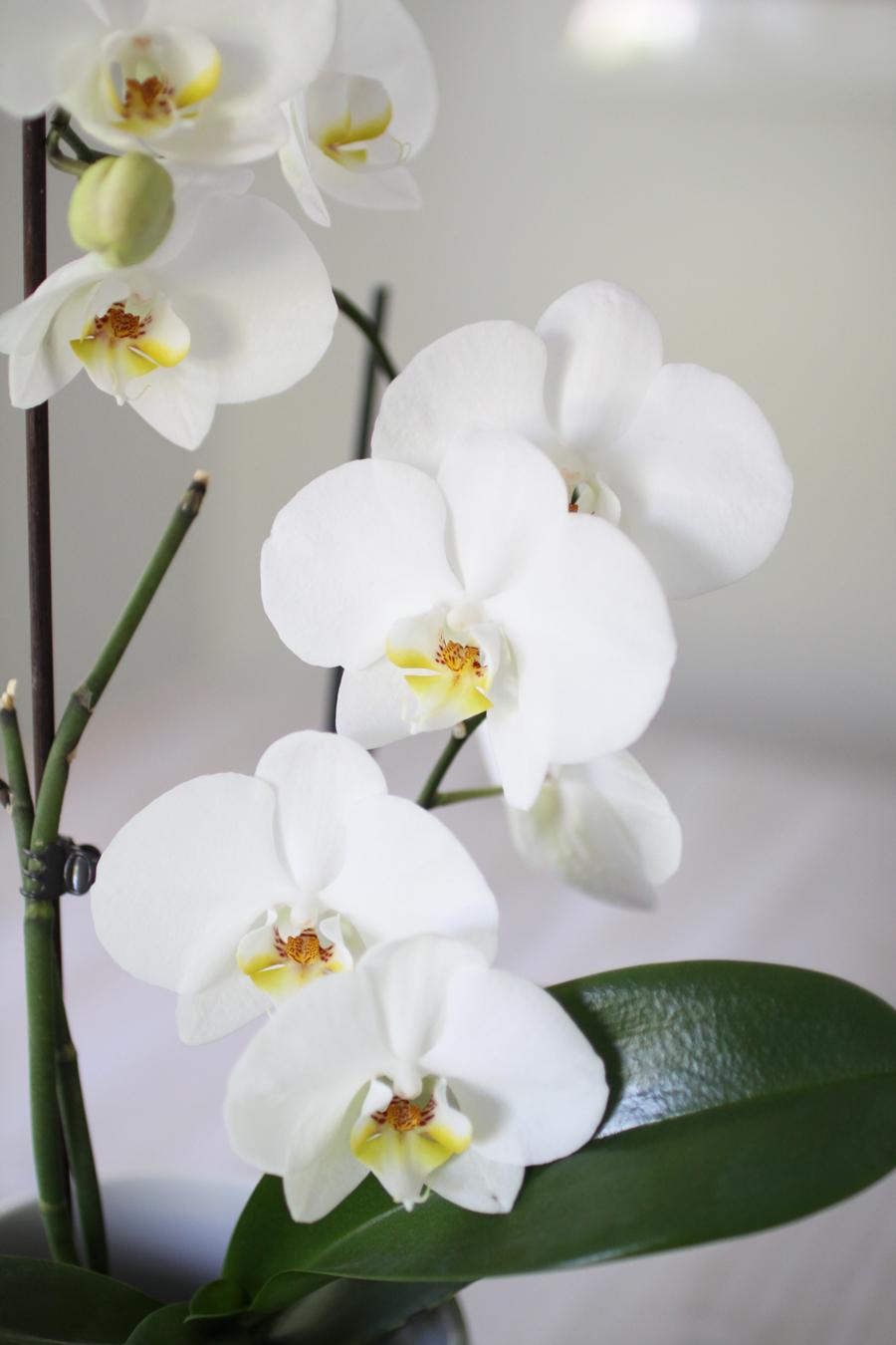 orkidea kukkii uudelleen